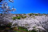 【宮崎春の花旅】桜を巡る春を満喫できるスポット特集!