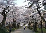 秋田の春を愛でるお花見ドライブ!?サイクリング!?よくばりプランをつくっちゃおう!