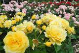 薔薇の名所