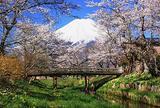 忍野 新名庄川沿いお宮橋付近の桜