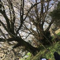 一心行の大桜の写真・動画_image_127343