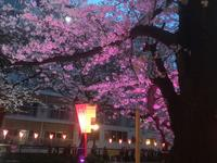 目黒川の桜並木の写真・動画_image_131464