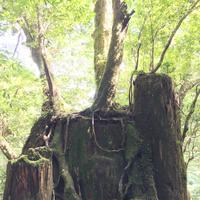 屋久島自然休養林(ヤクスギランド)の写真・動画_image_152099