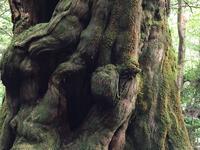 屋久島自然休養林(ヤクスギランド)の写真・動画_image_152101