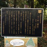 たこ杉の写真・動画_image_166532