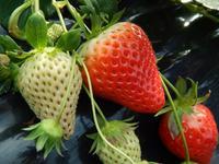 ひろびろ苺ファームの写真・動画_image_179944