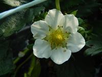 ひろびろ苺ファームの写真・動画_image_179945