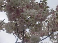 造幣局 桜の通り抜けの写真・動画_image_185160