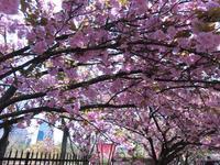 造幣局 桜の通り抜けの写真・動画_image_190951