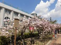 造幣局 桜の通り抜けの写真・動画_image_190952