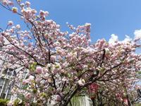 造幣局 桜の通り抜けの写真・動画_image_190954