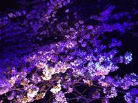 目黒川の桜並木の写真・動画_image_202047