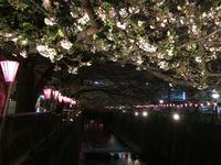 目黒川の桜並木の写真・動画_image_202049