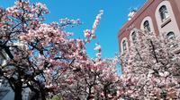 熱海桜の写真・動画_image_259364
