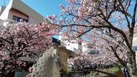 熱海桜の写真・動画_image_259365