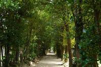 備瀬のフクギ並木の写真・動画_image_276461