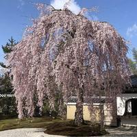 高台寺の写真・動画_image_331829
