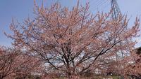 北浅羽桜堤公園の写真・動画_image_352919