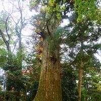 たこ杉の写真・動画_image_405228