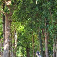備瀬のフクギ並木の写真・動画_image_415240