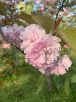 平野神社の写真・動画_image_425769