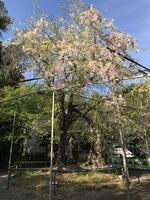 平野神社の写真・動画_image_425775