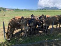 蒜山酪農農協ひるぜんジャージーランドの写真・動画_image_449886