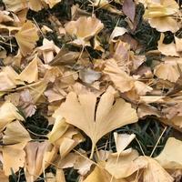 明治神宮外苑いちょう並木の写真・動画_image_280454