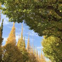 明治神宮外苑いちょう並木の写真・動画_image_280458