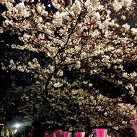 目黒川の桜並木の写真・動画_image_306265