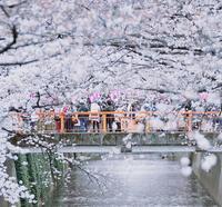 目黒川の写真・動画_image_307262
