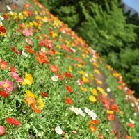 くじゅう花公園の写真・動画_image_320499