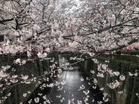 目黒川の写真・動画_image_557708
