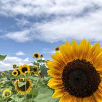 南光ひまわり畑の写真・動画_image_617376