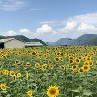 南光ひまわり畑の写真・動画_image_617378