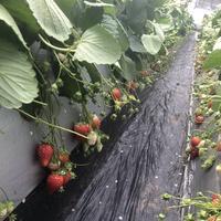 順子の苺園の写真・動画_image_627937