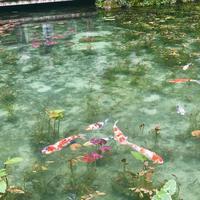 モネの池の写真・動画_image_664374