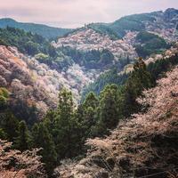 吉野山の写真・動画_image_901632