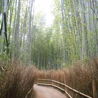 嵯峨野 竹林の道の写真・動画_image_258833