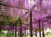 白井大町藤公園の写真・動画_image_30051