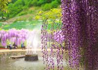 白井大町藤公園の写真・動画_image_30052