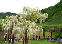 白井大町藤公園の写真・動画_image_30092