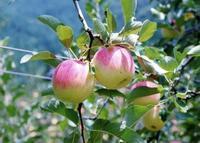 原観光りんご園の写真・動画_image_245295