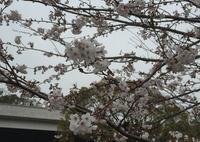 桜の馬場城彩苑の写真・動画_image_71119