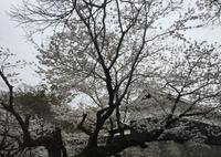 桜の馬場城彩苑の写真・動画_image_71121