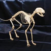 ネコ全身骨格標本