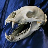 ツキノワグマ頭骨