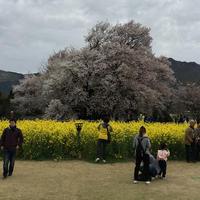 一心行の大桜の写真・動画_image_72215