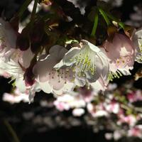 熱海桜の写真・動画_image_168501