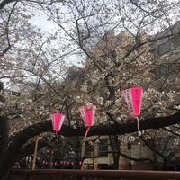 目黒川の桜並木の写真・動画_image_305321